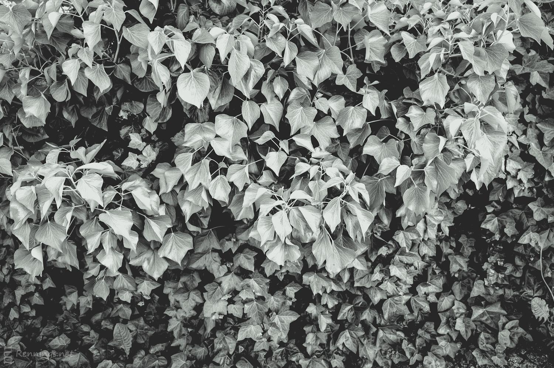 Hecke in Lennep (schwarz-weiß)