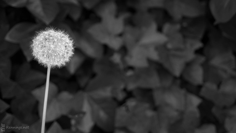 Löwenzahn (schwarz-weiß)